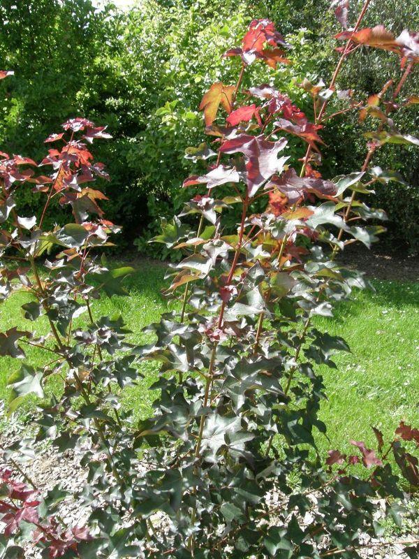 Acer cappadocicum 'Rubrum', Roter Kolchischer Ahorn
