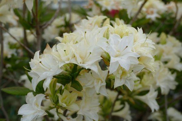 Rhododendron x mixtum 'Schneeköpfchen', Sommergrüne Azalee
