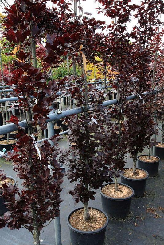 Fagus sylvatica 'Dawyck Purple', Rotlaubige Säulenbuche