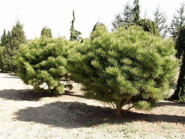 Pinus densiflora 'Umbraculifera', Japanische Rot-Kiefer