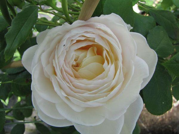 Rosa 'Claire Austin'  -R-              STR VI, Strauchrose
