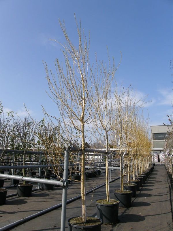 Salix alba 'Tristis', Trauer-Weide