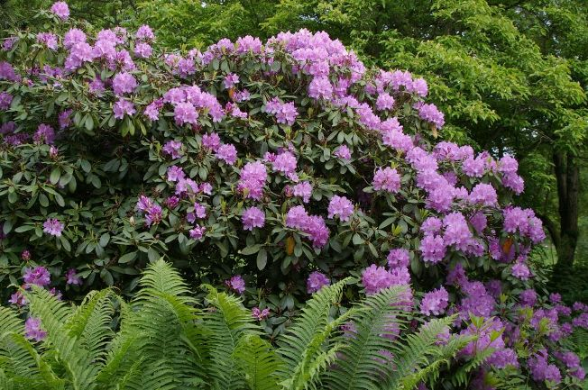 Rhododendron & Co.