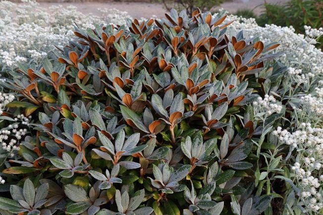 Yakushima- Rhododendron