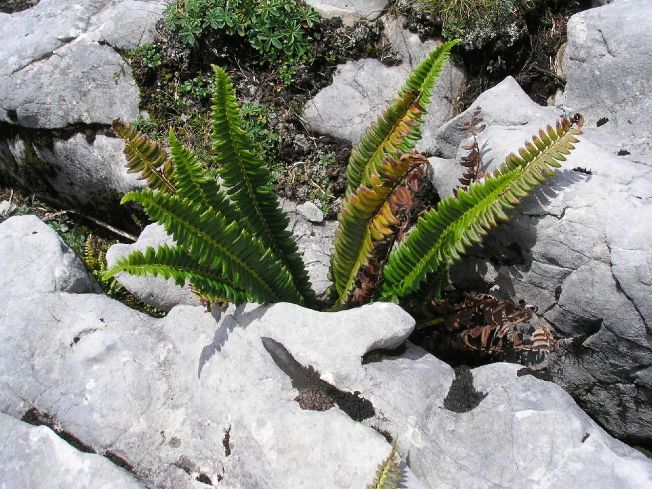 Farne für Steinanlagen