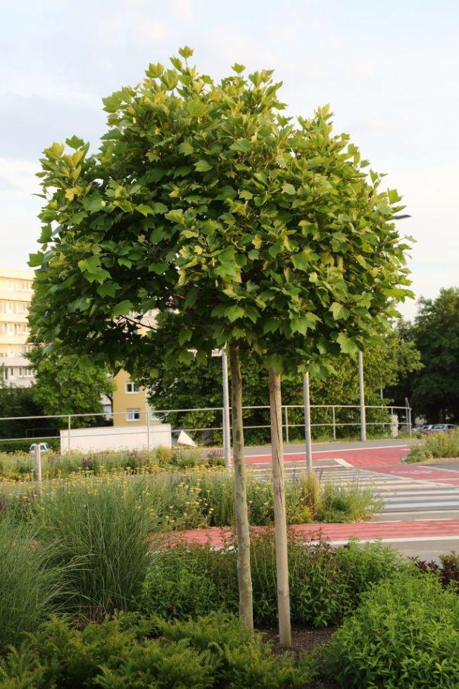 Kleinkronige Hausbäume bis 7 m