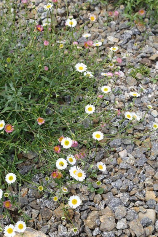 Erigeron karvinskianus 'Blütenmeer', Spanisches Gänseblümchen