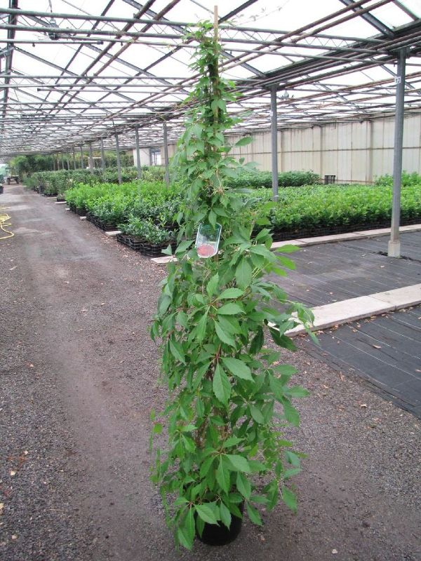 Parthenocissus quinquefolia 'Engelmannii', Wilder Wein