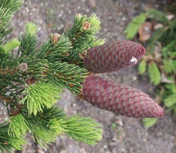 Picea pungens 'Lucky Strike', Grüne Zapfen-Fichte