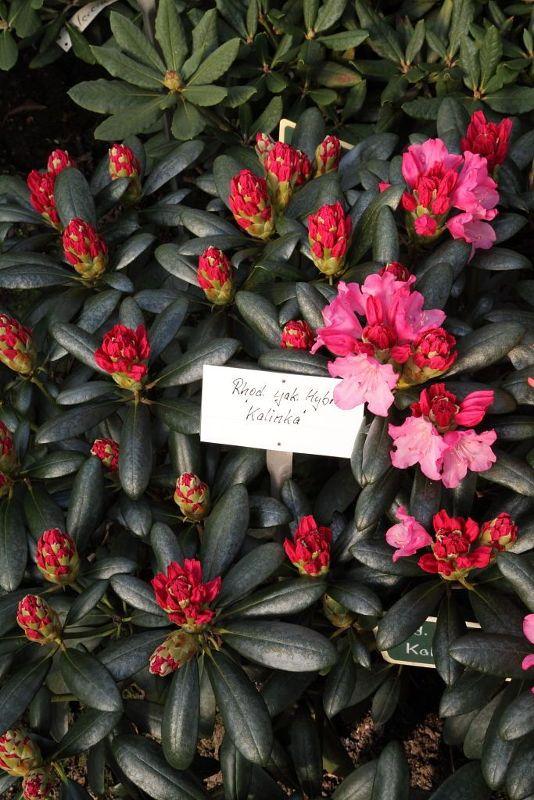 Rhododendron yak.'Kalinka' I, Yakushima-Rhododendron