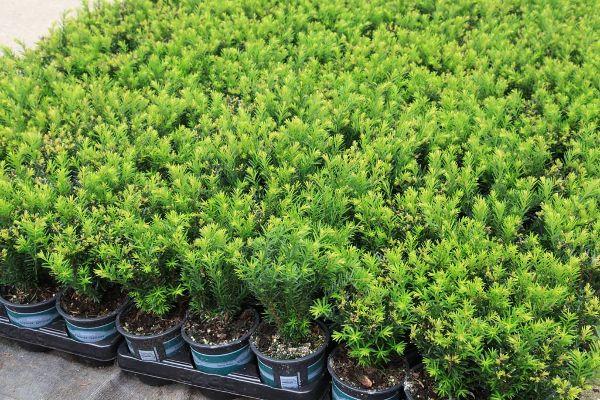 Taxus baccata 'Renke's Kleiner Grüner' -R-, Einfassungs-Eibe
