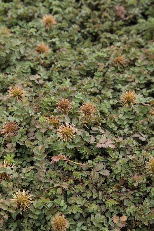Acaena microphylla 'Dichte Matte', Graugrünes Stachelnüsschen