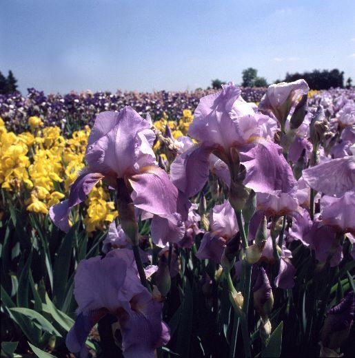Irisfest – der Traum vom Süden