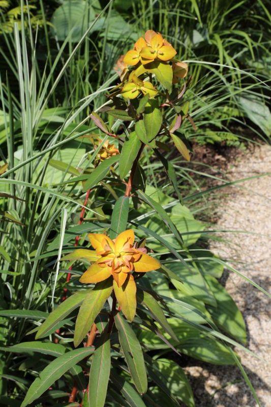 Euphorbia griffithii 'Beauty Orange', Himalaya-Wolfsmilch