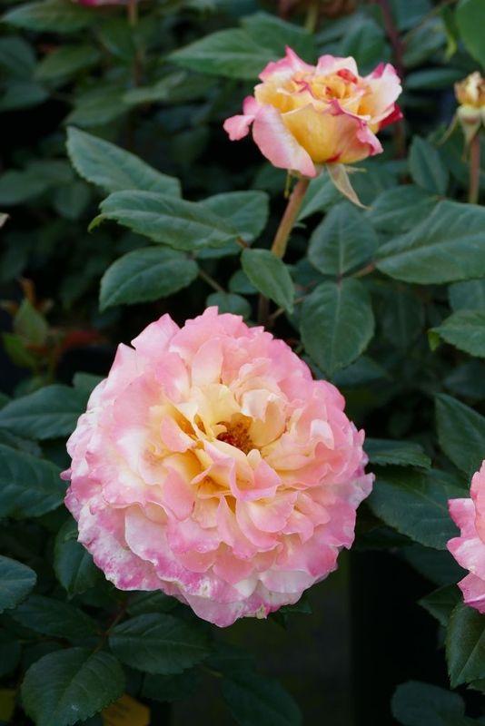 Rosa 'Aquarell'                         TH VI, Edelrose