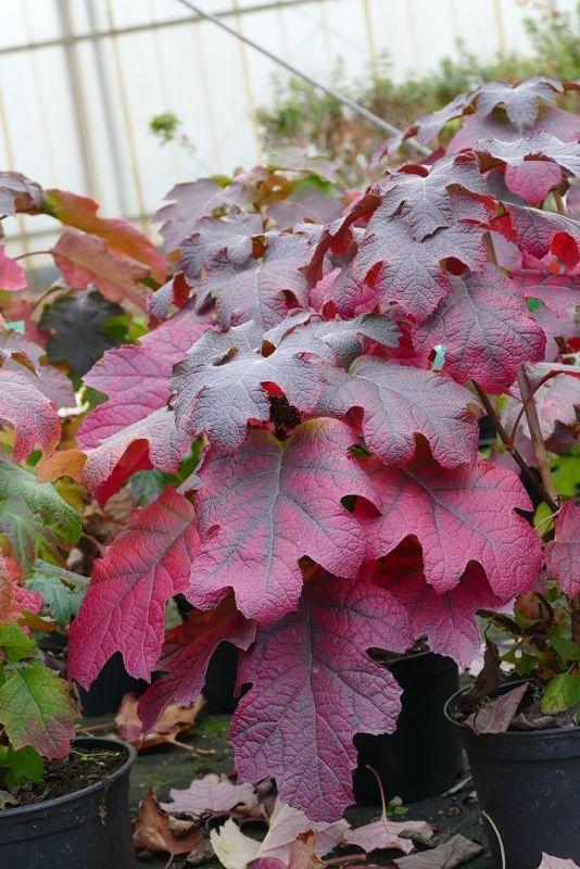 Hydrangea quercifolia 'Ruby Slippers', Eichenblättrige Hortensie