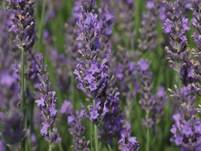 Sommerlich duftende Lavendelkekse