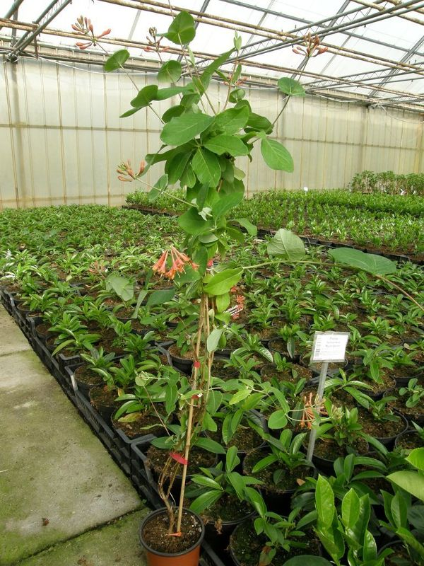 Lonicera x brownii 'Dropmore Scarlet', Rote Geißschlinge