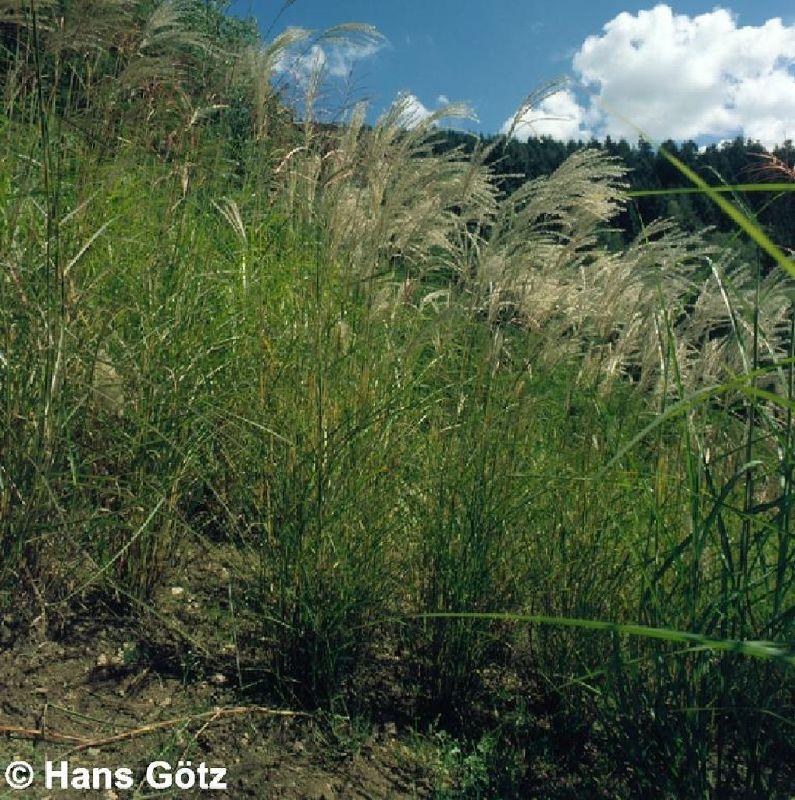 Miscanthus sinensis 'Große Fontäne', Chinaschilf
