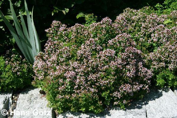 Origanum vulgare 'Compactum', Teppich-Dost