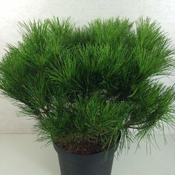 Pinus densiflora 'Alice Verkade', Japanische Rot-Kiefer
