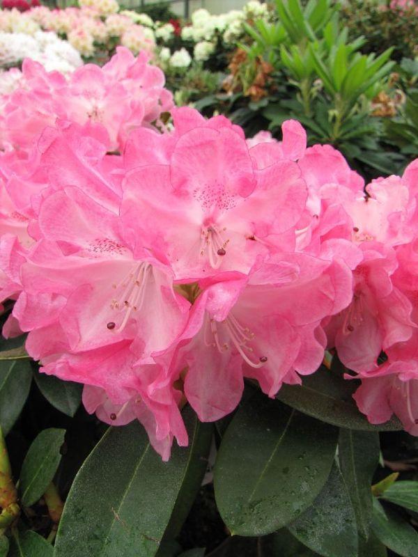 Rhododendron yak.'Morgenrot' I, Yakushima-Rhododendron