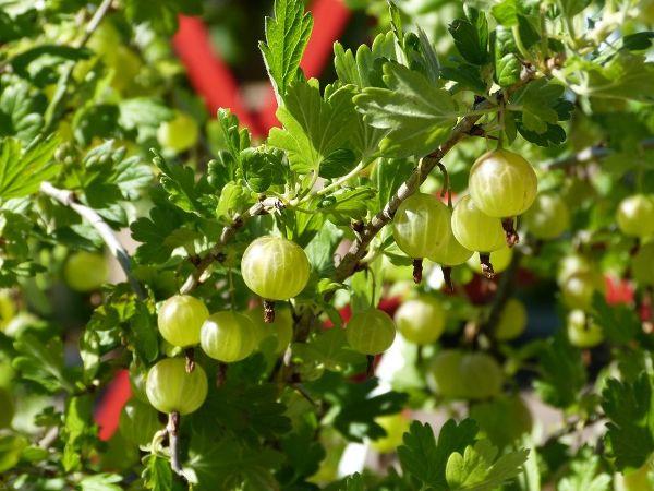 Ribes uva-crispa 'Mucurines'        CAC II, Stachelbeere