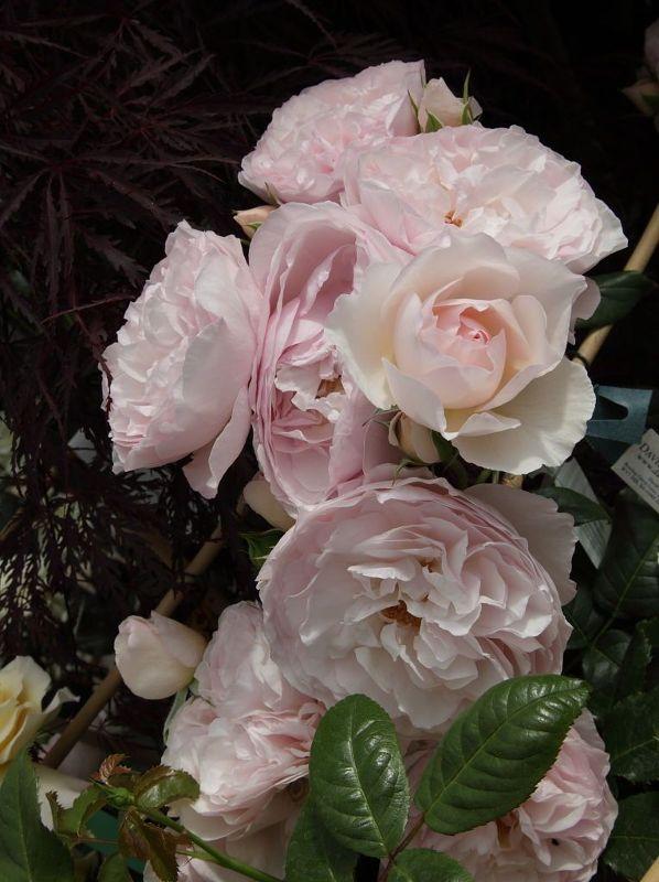 Rosa 'Heritage'  -R-        STR VI, Englische Strauchrose