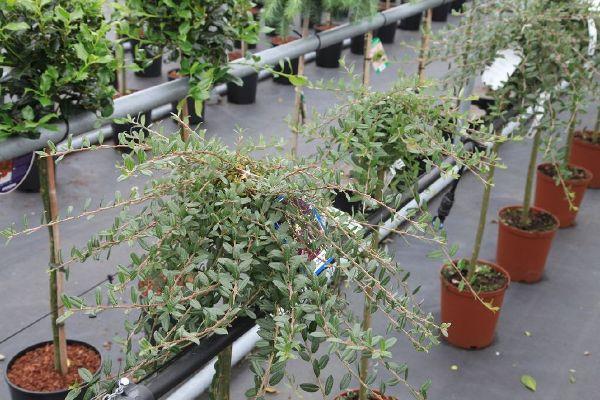 Salix repens 'Iona', Zwerg-Hänge-Weide
