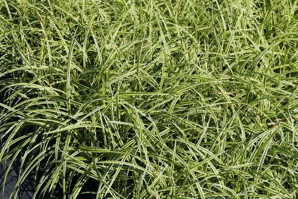Carex foliosissima 'Vanilla Ice'  -R-, Gelbrandrige Teppich-Segge