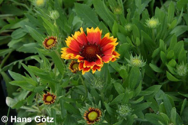 Gaillardia x grandiflora 'Arizona Sun', Großblumige Kokardenblume