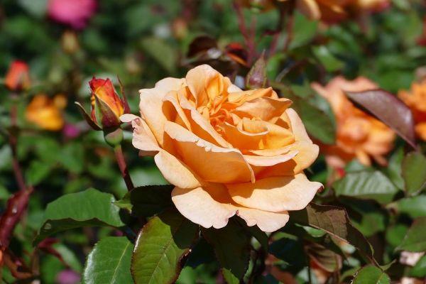 Rosa 'Doris Tysterman'                  TH II, Edelrose