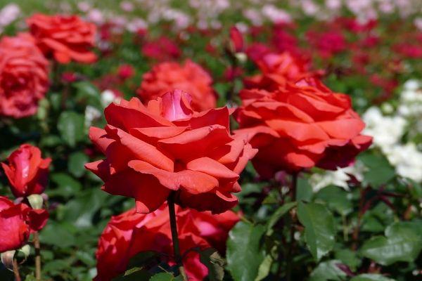 Rosa 'Duftwolke'  -R-                   BT II, Beetrose