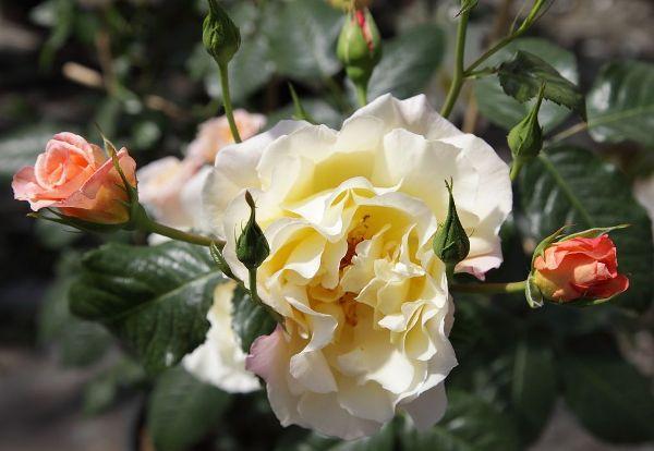 Rosa 'Moonlight'  -R-                   KL VI, Kletterrose