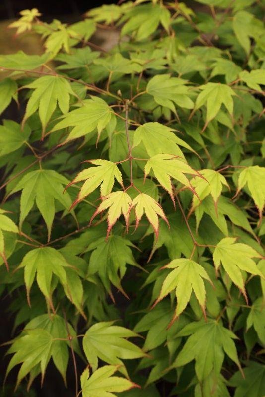 Acer palmatum 'Tsumagaki', Japanischer Fächer-Ahorn