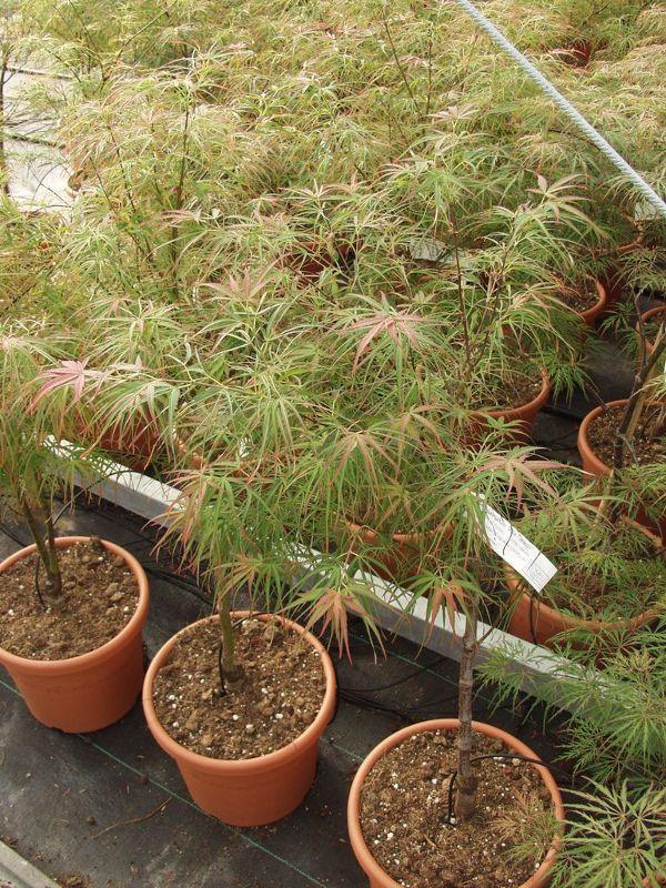 Acer palmatum 'Villa Taranto', Rotblättriger Fächer-Ahorn