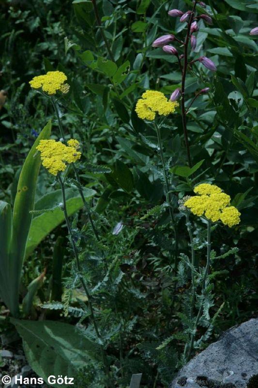 Achillea clypeolata 'Moonshine', Goldquirl-Garbe