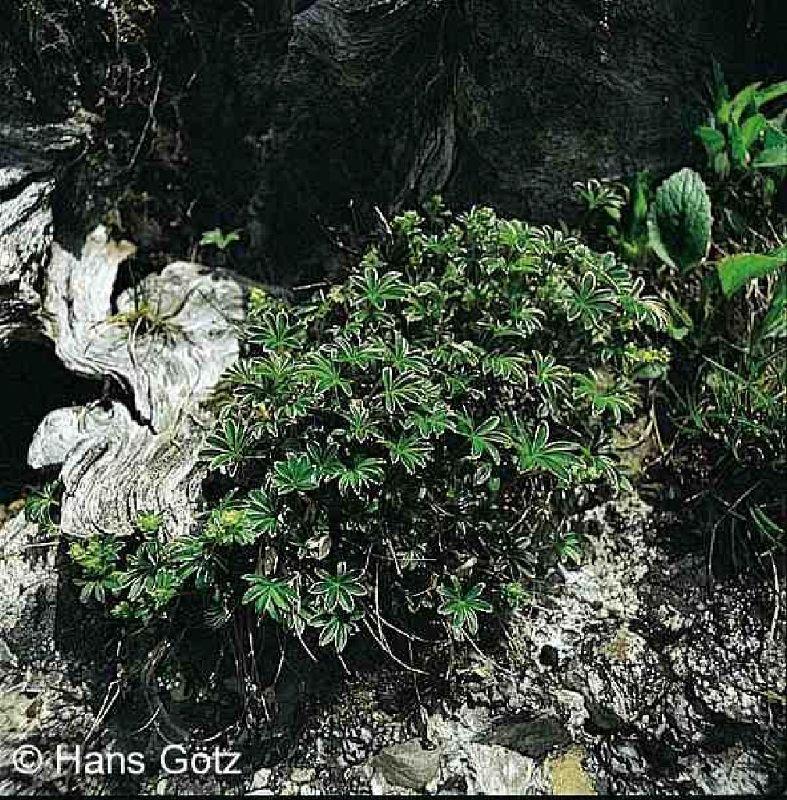 Alchemilla alpina, Alpen-Silbermantel