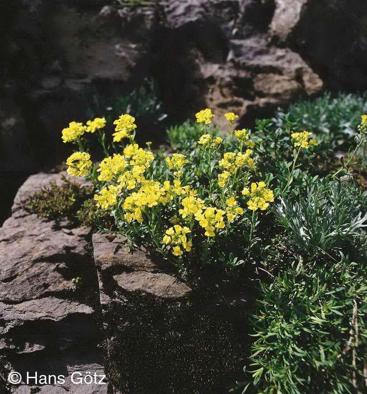Alyssum montanum 'Berggold', Berg-Steinkraut