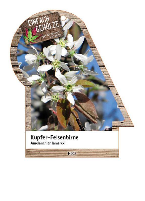 Amelanchier lamarckii, Kupfer-Felsenbirne