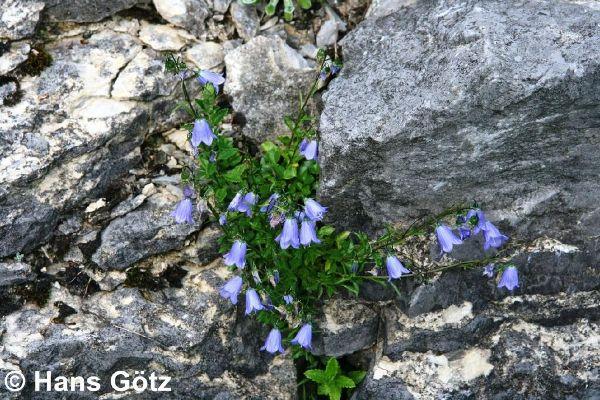 Campanula cochleariifolia, Niedliche Glockenblume