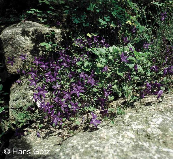 Campanula poscharskyana 'Stella', Hängepolster-Glockenblume