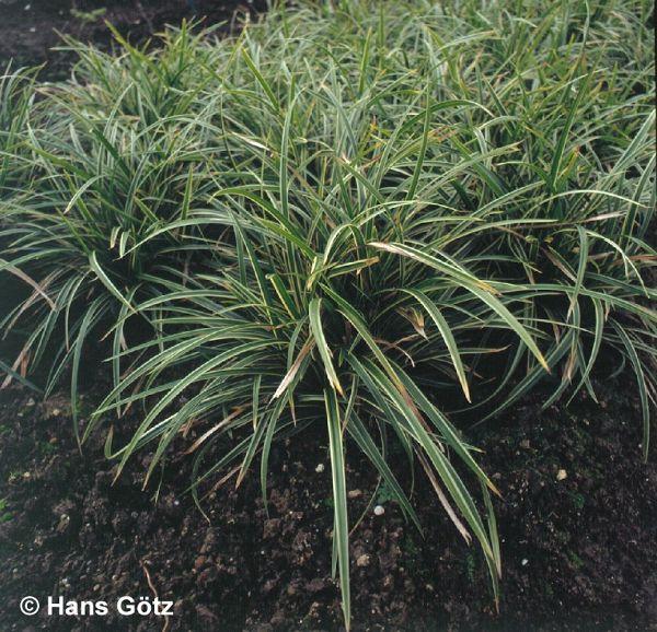 Carex foliosissima 'Icedance', Weißrandige Teppich-Segge