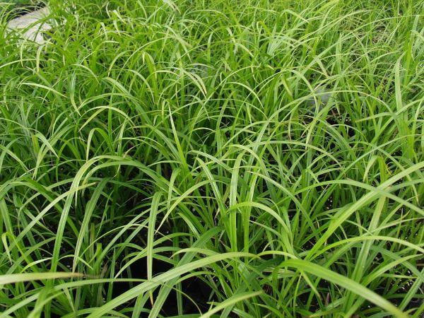 Carex grayi, Morgenstern-Segge