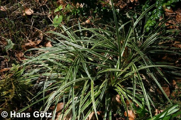 Carex morrowii 'Aureovariegata', Goldrand-Japan-Segge
