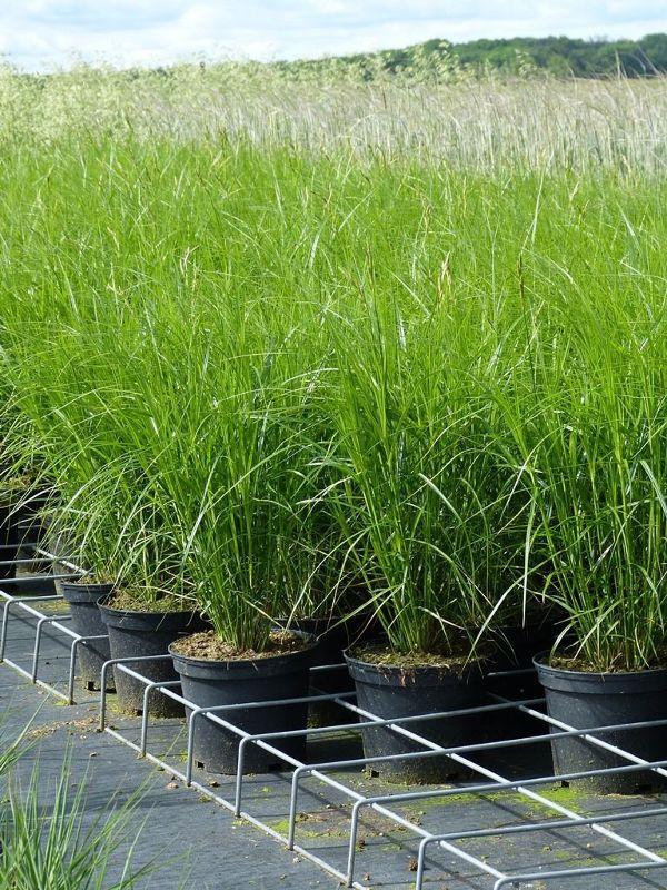 Carex muskingumensis, Palmwedel-Segge