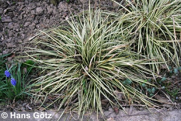 Carex oshimensis 'Evergold', Grün-Goldene Japan-Segge