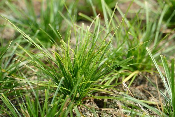 Carex pensylvanica, Pennsylvania-Segge