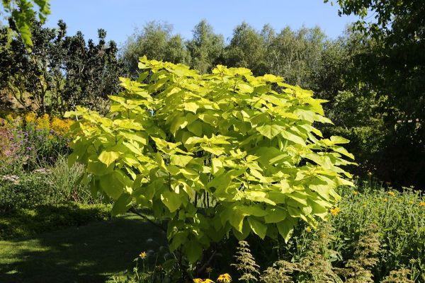 Catalpa bignonioides 'Aurea', Gold-Trompetenbaum