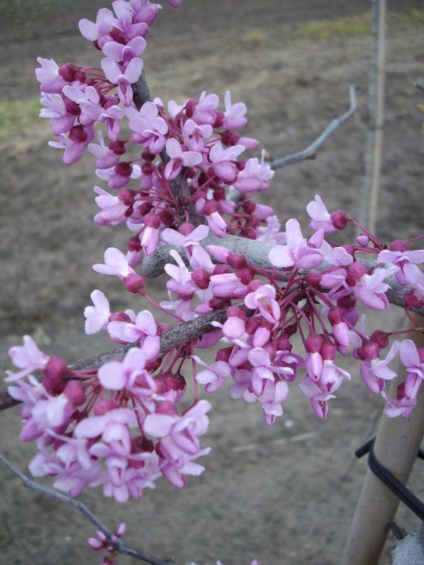 Cercis canadensis 'Lavender Twist', Kanadischer Hänge-Judasbaum